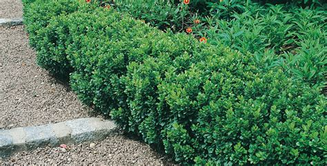 piante da cespuglio fiorite siepi basse fiorite quali scegliere