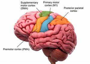 Location  Structure  And Function Of The Motor Cortex