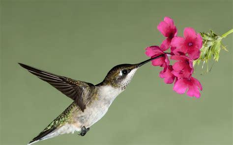 hummingbird nectar hummingbird flight flower flowers nectar wallpaper 1920x1200 100982 wallpaperup