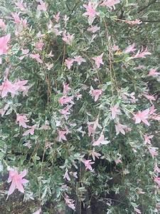 Rosa Blühender Baum Im Frühling : rosa bl hender baum salix integra 39 hakuro nishiki 39 ~ Lizthompson.info Haus und Dekorationen