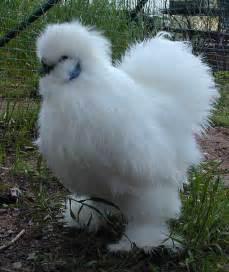 White Silkie Bantam Chicken