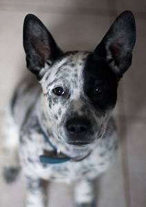 White and black Australian Cattle pup looking straight up ...