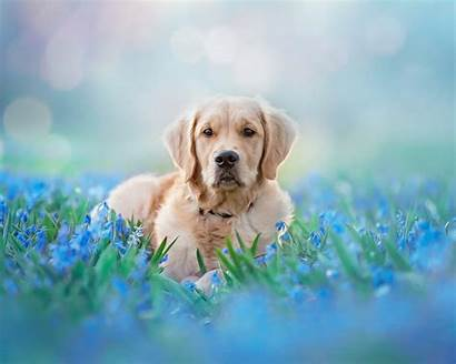 Golden Retriever Pet Animal Meadow Dog