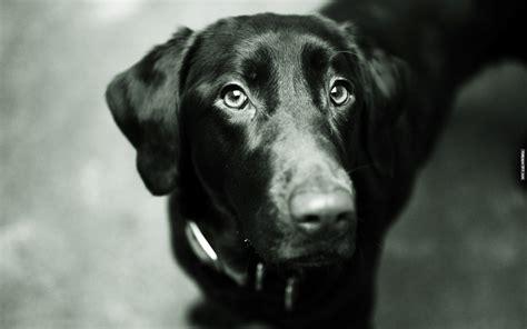 animals dogs monochrome high definition wallpaper