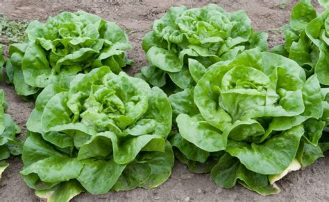pictures of lettuce growing learn how to grow lettuce in the garden