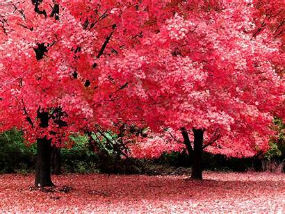 Trees Wallpapers Backgrounds Tree Background Pretty Blossom