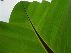 Schmucklilie überwintern Gelbe Blätter : bananenpflanze pflege der banane berwintern und d ngen ~ Eleganceandgraceweddings.com Haus und Dekorationen