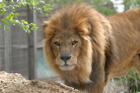 Lion Manes Linked to Climate