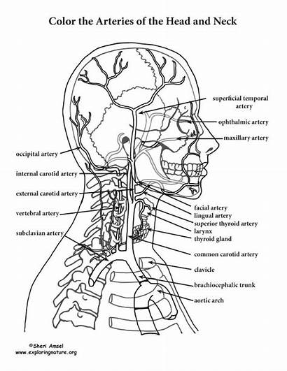 Neck Anatomy Coloring Head Pages Arteries Pdf