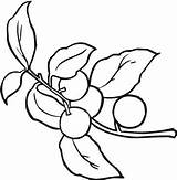 Berries Coloring Pages Berry Template Templates sketch template