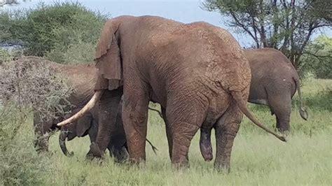 bull elephant  mating  tarangire national park