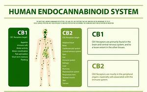 Endocannabinoid System Guide 101