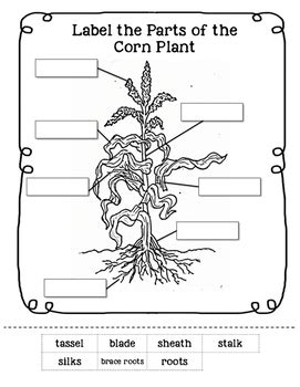 parts of a corn plant worksheet by learning tpt