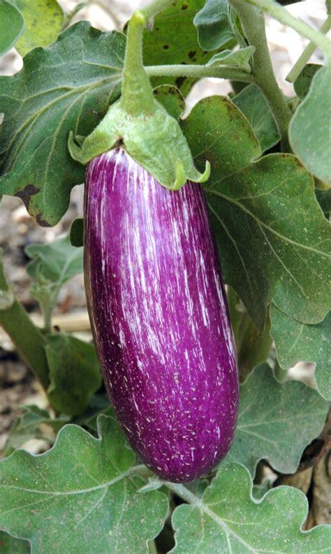 aubergine planter  tailler ooreka