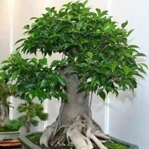 Bonsai Ficus Ginseng : bonsai ficus ginseng schede bonsai ~ Buech-reservation.com Haus und Dekorationen