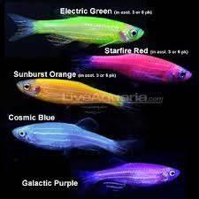 Glofish Tetra fish Pinterest