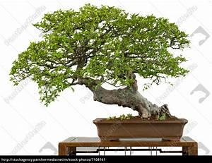 Bonsai Chinesische Ulme : alte chinesische ulme als bonsai baum stockfoto 7108161 bildagentur panthermedia ~ Frokenaadalensverden.com Haus und Dekorationen