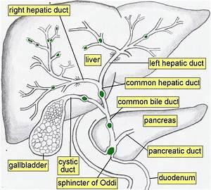Anatomy Chapter 15 Digestive System: Organ Location ...