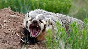 Man shoots badger attacking family dogs ...