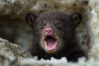 Bear Cubs Kill Cub Wild Protecting Animals