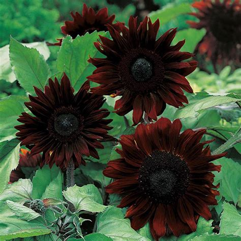 sunflower black magic f1 seeds from mr fothergill s seeds