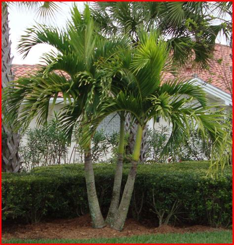 christmas palm tree seedlings 3 ebay