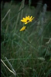 Swamp Sunflower Guide