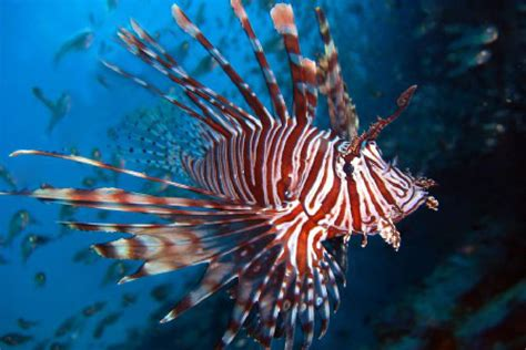 beat em eat em lionfish
