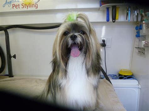 lhasa apso dog grooming by angela s pet styling mobile