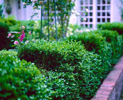 when to prune boxwood pruning boxwoods
