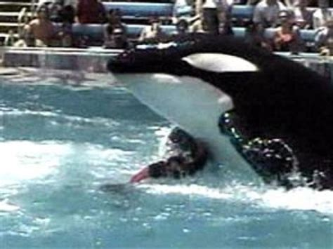 Video Footage Of Killer Whale Tilikum Drowning Trainer