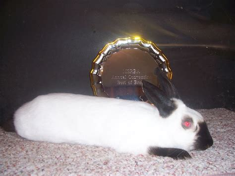 himalayan rabbit wikipedia