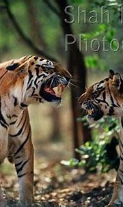 Two male Bengal tigers snarling at one another (Panthera ...