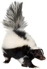 skunks wildlife animal pest control