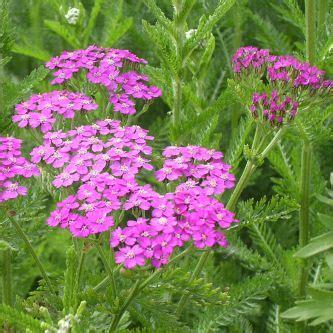 donkerpaarse bloemen 1 20 m nieuwsbrief mei juni 2006 op planten debock be