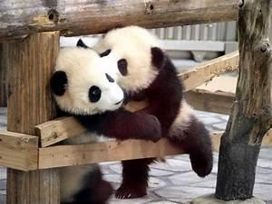 baby pandas cuddly creature xcitefun net