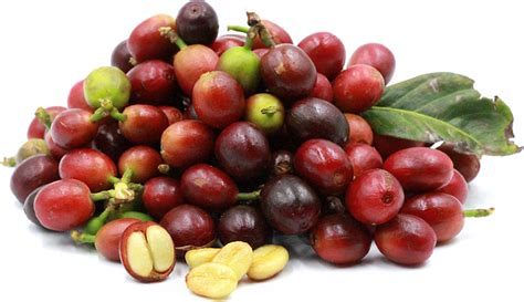 Coffee Berries Information And Facts Mocha Coffee Joint Pots Beans Starbucks Moka Grounds Caribou Menu Qatar Atlanta Airport Monkey's Very Quickly Because Of Its Jelly Recipe