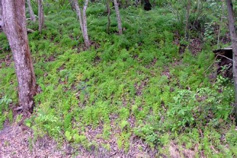 ground asparagus fern weed identification brisbane