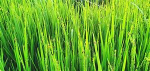 New Paddy Bug Infestation Threatens Essequibo Rice Crop