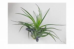 Scopri le Tillandsie, piante senza terra! CASAfacile