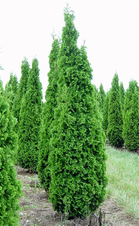 arborvitae trees thuja occidentalis degroots spire degroots spire cedar