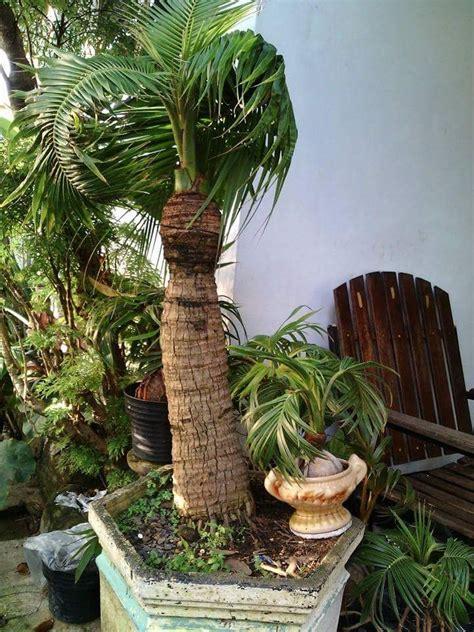 pin  coco bonsai   coco bonsai  images