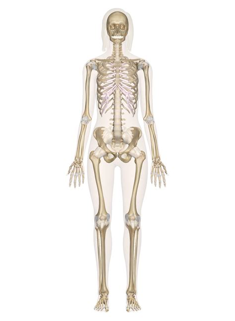 skeletal system labeled diagrams   human skeleton