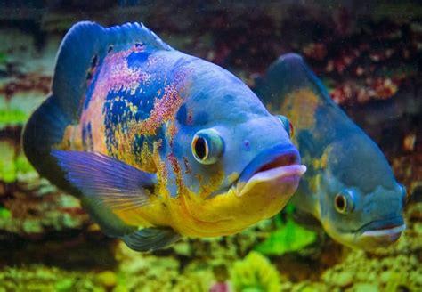 tiger oscar fish tank size   gallons