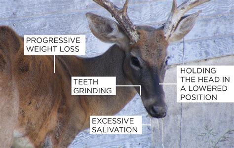 How Chronic Wasting Disease Affects Deer Hunting