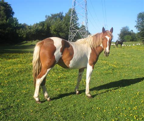 burro apareandose  una yegua criadero de caballos