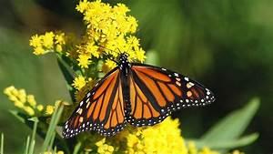 California U2019s Monarch Butterflies Hit  U2018potentially