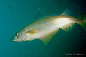 mer et littoral pollachius pollachius lieu jaune biologie des poissons