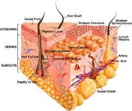 Integumentary System Skin