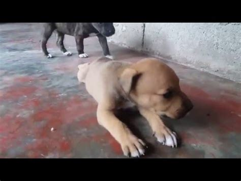cachorros cruce entre pitbull  rottweiler youtube